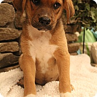 Adopt A Pet :: Cappuccino - Wytheville, VA