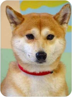Shiba Inu Dog for adoption in New York, New York - Ginger