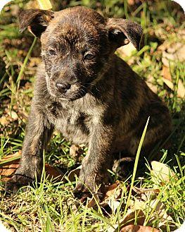 Boxer/German Shepherd Dog Mix Puppy for adoption in Allentown, Pennsylvania - Culan