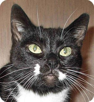 Domestic Shorthair Cat for adoption in Morganton, North Carolina - Sasha