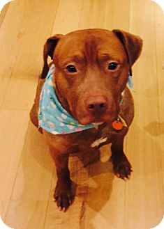 Pit Bull Terrier Mix Dog for adoption in New York, New York - TYSON