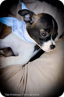 Chihuahua Mix Puppy for adoption in Muldrow, Oklahoma - Barney