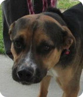 Shepherd (Unknown Type) Mix Dog for adoption in Aiken, South Carolina - BUSTER