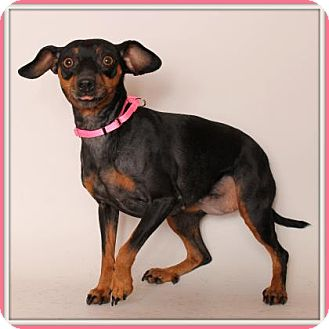 Miniature Pinscher Mix Dog for adoption in Glendale, Arizona - Dalia