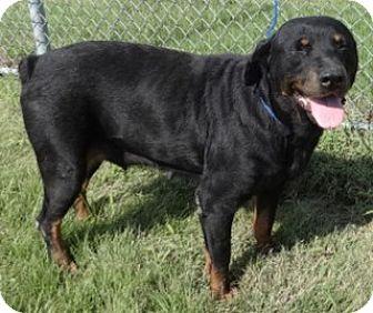 Rottweiler Mix Dog for adoption in Olive Branch, Mississippi - Lovely