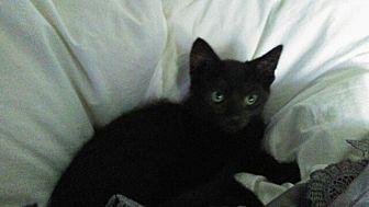 Domestic Shorthair Kitten for adoption in Palm Springs, California - Bear Bear and Artie