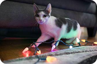 American Bobtail Kitten for adoption in Columbus, Ohio - Bo