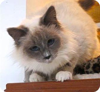 Ragdoll Kitten for adoption in Davis, California - Snowdrop