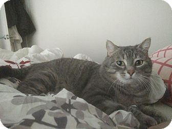 Domestic Shorthair Cat for adoption in THORNHILL, Ontario - Ravioli