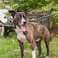 Boxer/Labrador Retriever Mix Dog for adoption in Cincinnati, Ohio - Trevor