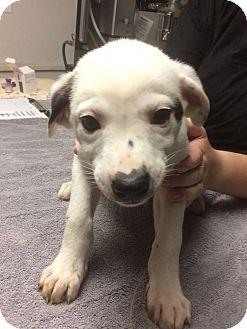 German Shepherd Dog/Labrador Retriever Mix Puppy for adoption in St. Louis, Missouri - Dolly