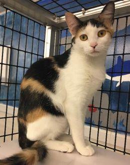 Domestic Shorthair/Domestic Shorthair Mix Cat for adoption in Washington, Iowa - Peggy