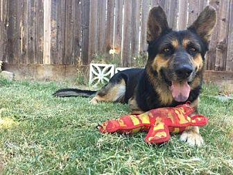 German Shepherd Dog Dog for adoption in Los Banos, California - Bolis
