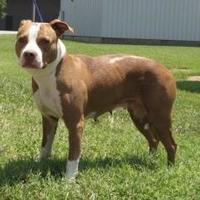 Adopt A Pet :: Hannah (-)** - Owensboro, KY
