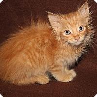 Adopt A Pet :: Simba - Marietta, OH