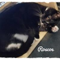 Adopt A Pet :: Roscoe - Anderson, IN