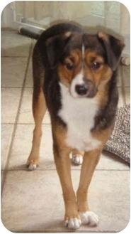 Beagle/Rat Terrier Mix Dog for adoption in Lomita, California - Nora