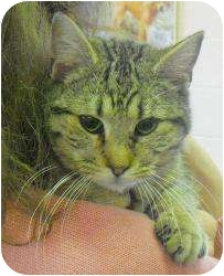 Domestic Shorthair Cat for adoption in Honesdale, Pennsylvania - Bloo