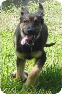 German Shepherd Dog Dog for adoption in Dripping Springs, Texas - Rolf