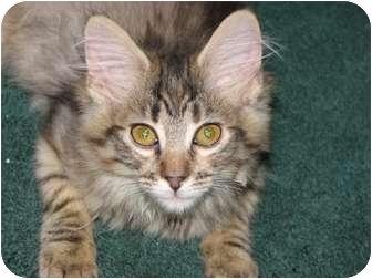 Maine Coon Kitten for adoption in Davis, California - Madeline Rose (Madie)