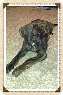 Plott Hound Mix Puppy for adoption in Plainfield, Illinois - Gage