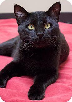 Bombay Cat for adoption in Chicago, Illinois - Salem