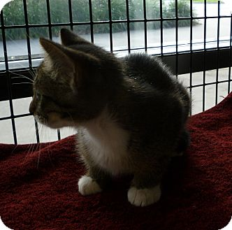 Domestic Shorthair Cat for adoption in Tampa, Florida - Patty Duke