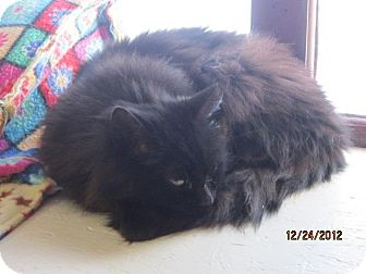 Domestic Mediumhair Cat for adoption in Sanford, Maine - Noel