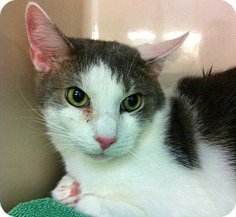 Domestic Shorthair Cat for adoption in Brooklyn, New York - Sting