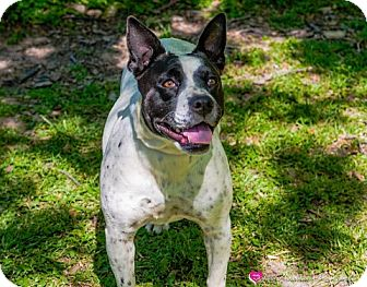 Border Collie/Terrier (Unknown Type, Small) Mix Dog for adoption in Fort Worth, Texas - MOLLY