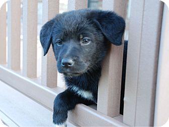 Golden Retriever Mix Puppy for adoption in Denver, Colorado - Allie