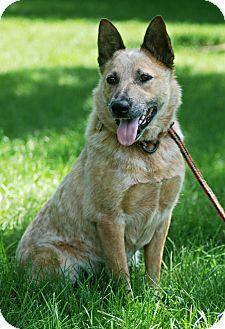 Australian Cattle Dog Dog for adoption in Delano, Minnesota - Spike