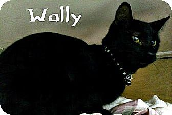 Domestic Shorthair Kitten for adoption in Island Heights, New Jersey - Wally