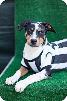 Australian Shepherd Mix Puppy for adoption in Auburn, California - Bender