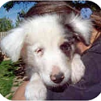 Adopt A Pet :: Snowman - Mesa, AZ