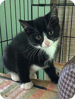 Domestic Shorthair Kitten for adoption in Dunkirk, New York - Kittens