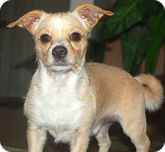 Terrier (Unknown Type, Small) Mix Dog for adoption in Ft Myers Beach, Florida - Close Call for Benji