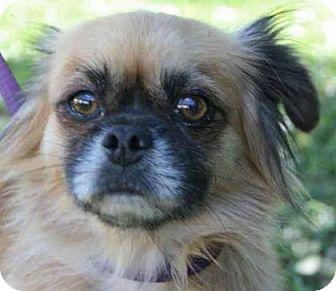 Pomeranian/Pug Mix Dog for adoption in Gainesville, Florida - Porter