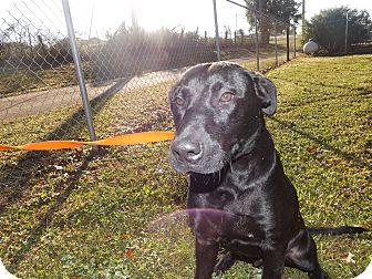 Labrador Retriever Mix Dog for adoption in Thomaston, Georgia - Frazier