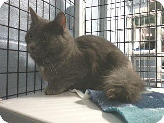 Domestic Mediumhair Cat for adoption in New Milford, Connecticut - Fara