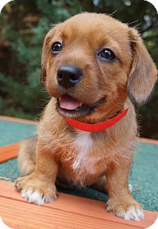 Dachshund/Terrier (Unknown Type, Small) Mix Puppy for adoption in Newark, Delaware - Violet