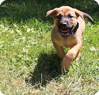 German Shepherd Dog/Shepherd (Unknown Type) Mix Puppy for adoption in Westport, Connecticut - Clifford