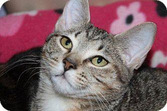 Domestic Shorthair Kitten for adoption in McDonough, Georgia - Ava @ Roswell Petsmart