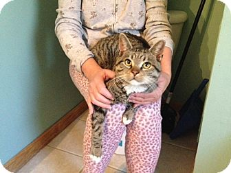 Domestic Shorthair Cat for adoption in Chicago, Illinois - Garden Sox