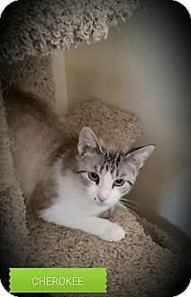 Colorpoint Shorthair Cat for adoption in Fairborn, Ohio - Cherokee