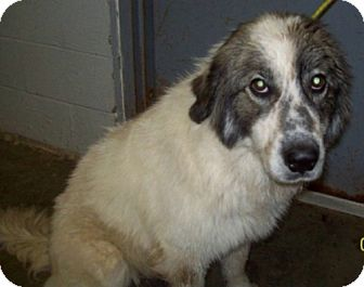 Great Pyrenees Mix Dog for adoption in Dover, Tennessee - Zoe