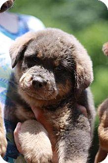 Rottweiler Mix Puppy for adoption in Rockville, Maryland - Hooch