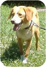 Beagle/Border Collie Mix Dog for adoption in Huntingdon, Pennsylvania - Wilson