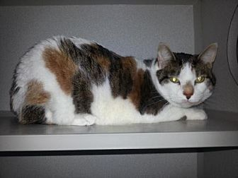 Calico Cat for adoption in Iroquois, Illinois - Bethany