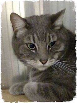 Domestic Shorthair Cat for adoption in Pueblo West, Colorado - Tomas